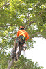2015 09 30 Taking the Maple Tree Down 50