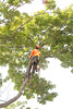 2015 09 30 Taking the Maple Tree Down 51