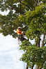 2015 09 30 Taking the Maple Tree Down 5