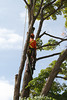 2015 09 30 Taking the Maple Tree Down 44