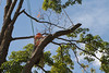 2015 09 30 Taking the Maple Tree Down 65