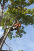 2015 09 30 Taking the Maple Tree Down 74
