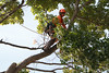 2015 09 30 Taking the Maple Tree Down 47