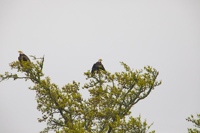 A pair of Bald Eagles dry their wings on a foggy Mississippi Gulf Coast morning.  About 100 yards from our campsite.