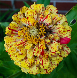 Yellow and Red Zinnia, with a fly (species unknown) visiting.