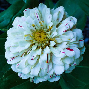 White Zinnia, with a splash of red