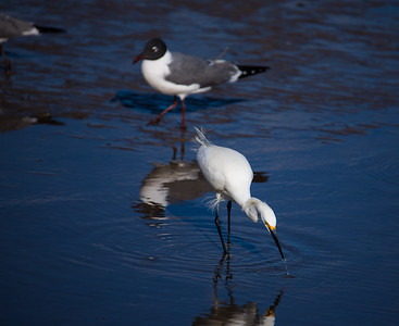 Snowy Egret fishing in the MS Gulf Coast, while a Laughing Gull looks on.