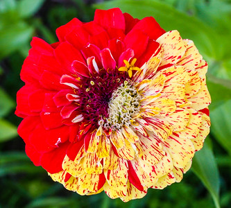 Multi Color Zinnia