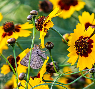 Flowers with moth, beelte, and a crab spider.
