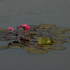 Water lilies in the moat around Angkor Wat