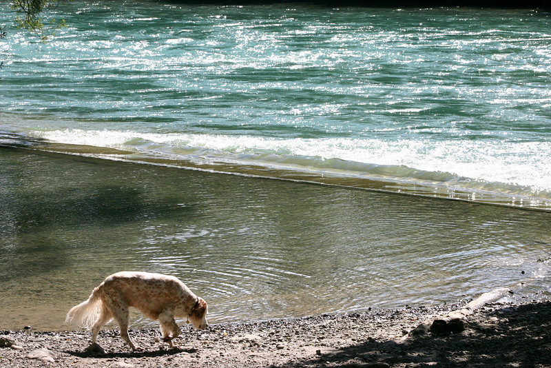 Dog at Aare River