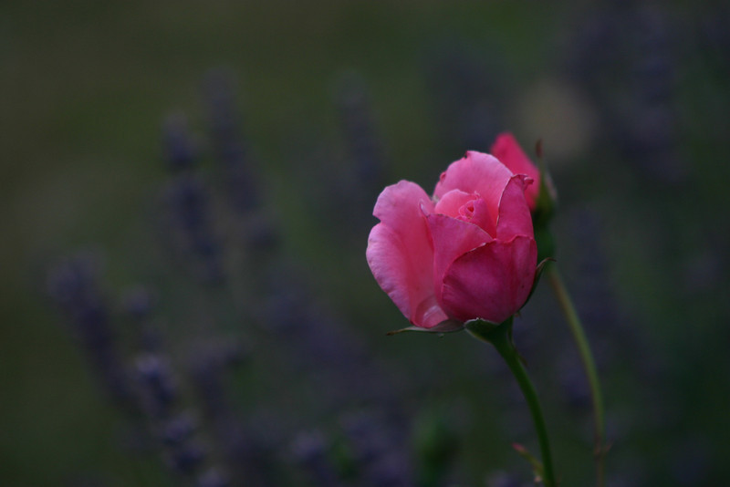 I like the fact that the lavender is just in focus enough that you can tell what it is, but not so much as to detract from the rose.