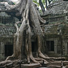 Crocodile Tree at Ta Prohm
