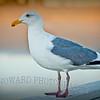 Le Gull