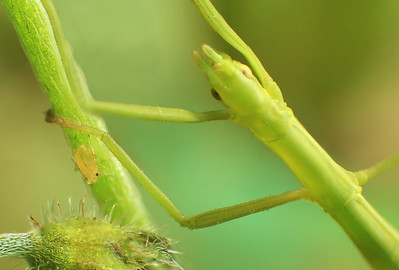 Aphid and Stick insect