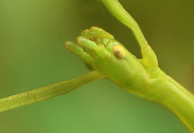Stick insect by Bruno SUIGNARD