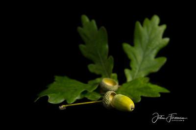 Oak leaves & Acorns