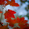 Maple Leaf in full fall red