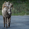 Fallow Me, Rocky Mountain Big Horn Sheep Ram and his three Ewe's
