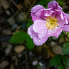Alberta Wild Rose with Dew drops