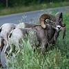 Rocky Mountain Big Horn Sheep,Ram bachelor group eating grass