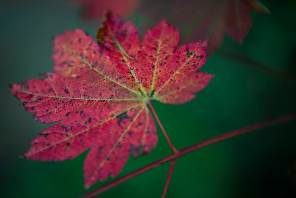 Maple leaf in fall red