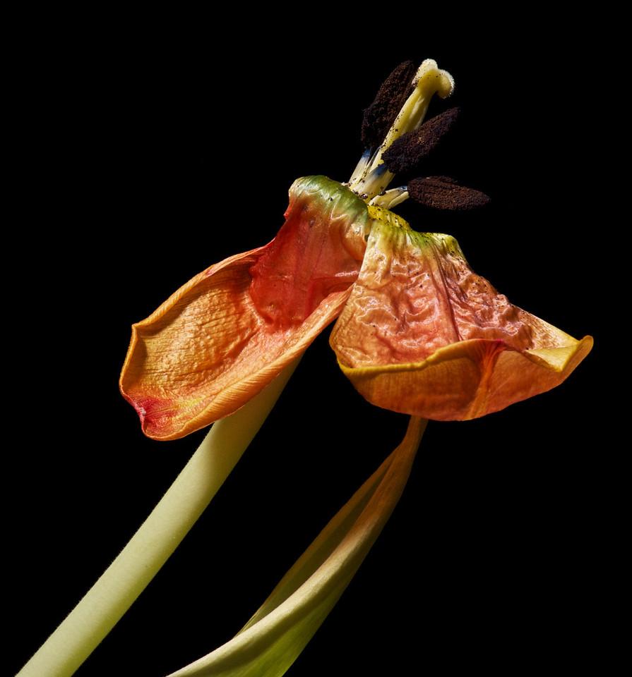 Tulips_2011-06-24_20-34-11__DSC7939_©RichardLaing(2011)