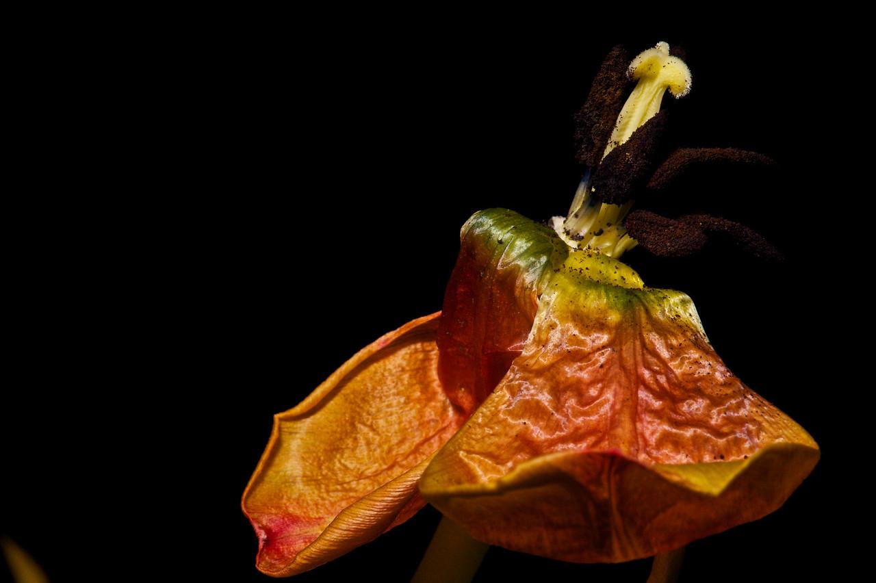Tulips_2011-06-24_20-35-00__DSC7943_©RichardLaing(2011)
