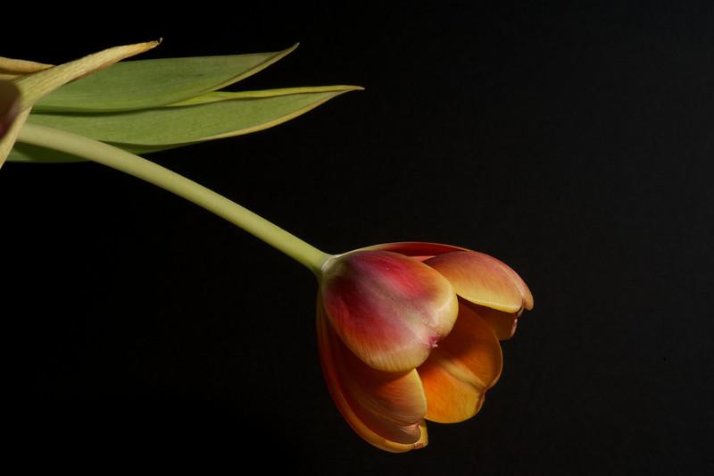 Tulips_2011-06-23_19-26-30__DSC7905_©RichardLaing(2011)