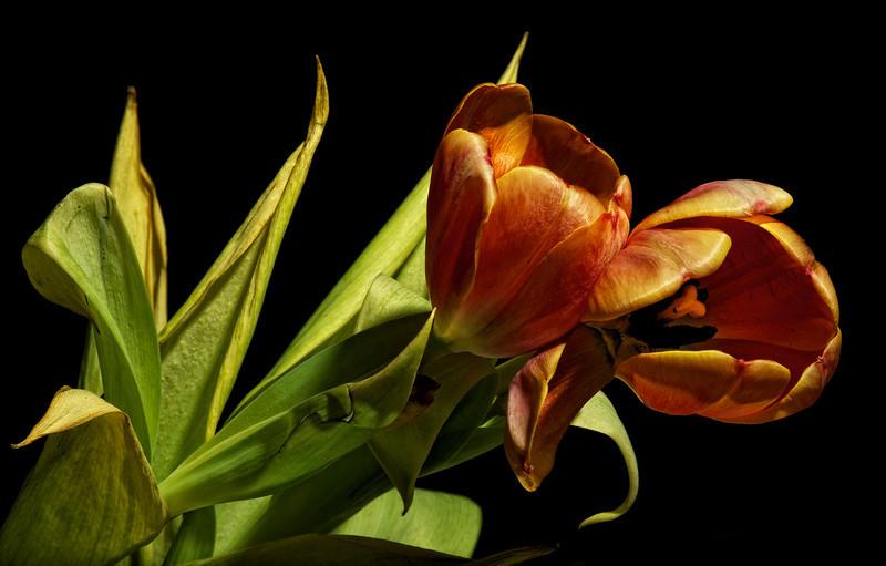 Tulips_2011-06-22_20-52-03__DSC7849_©RichardLaing(2011)