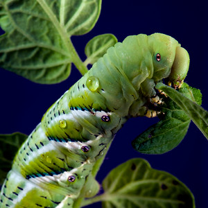 Macro horned tomato worm_0061 crop1