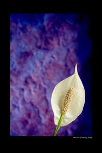 Calla Lily & Purple Background