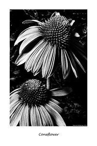Coneflower 062011_0267FArt 10x15 B