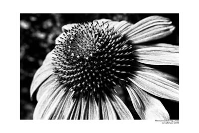 Coneflower 062011_0258FDynSm 10x15B