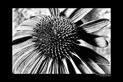 Coneflower 062011_0259FArt 10x15 B