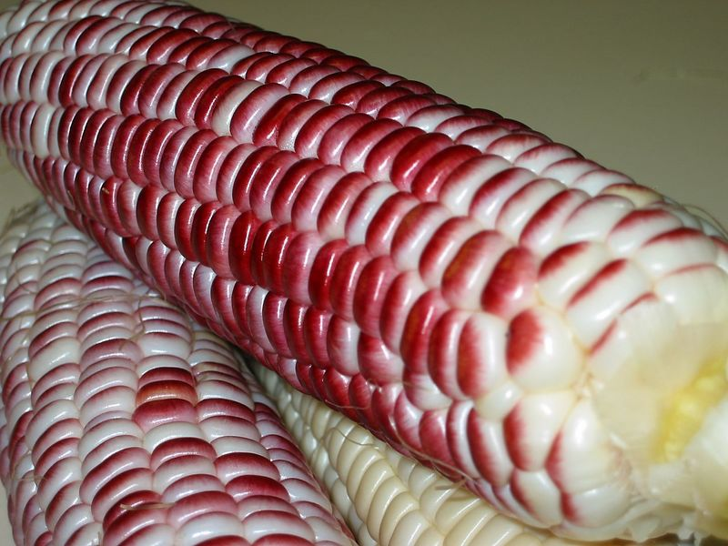 Red corn - perspective 2