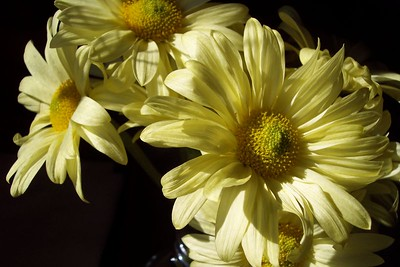 My grocery store daisies in the sunny kitchen window