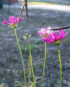 Cosmos with a shaft of light hitting them