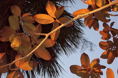Magnolia leaves with the golden sunset lighting them from underneath