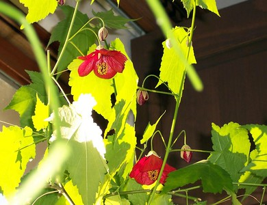 A flowering maple with glowing green leaves