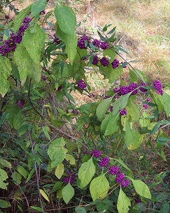A Florida native plant with beautiful berries