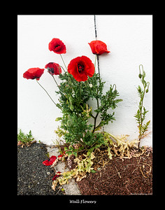 Wall Flowers, Poppies