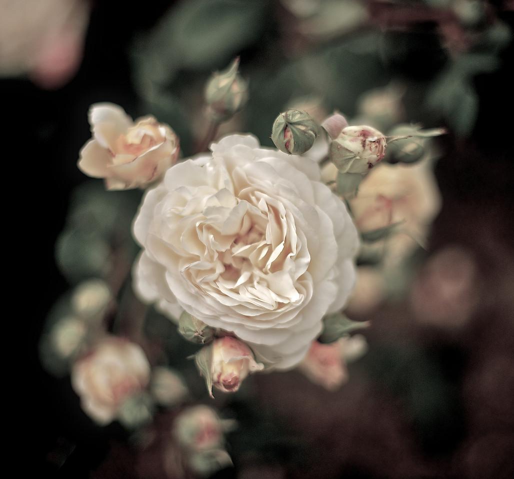 RoseGarden_2011-01-02_17-24-18_DSC_4807_©RichardLaing(2010)