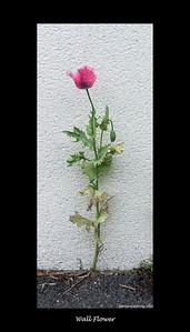Wall Flower, Pink Poppy
