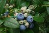 Blue & not-so-blue berries (Fri 7 4 08)