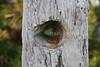 Wooden eye (Sat 4-25-09)