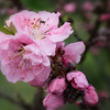First Nectarine blossoms<br /> February 24, 2010