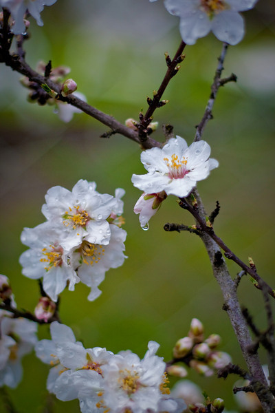 More Almond blossoms<br /> 2-24-2010