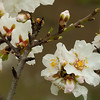 Almond blossoms after the rain<br /> February 24, 2010