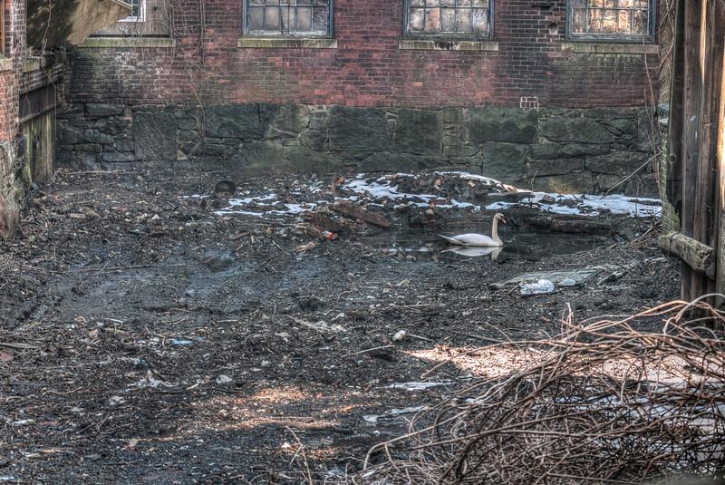 Swan in squalor. HDR